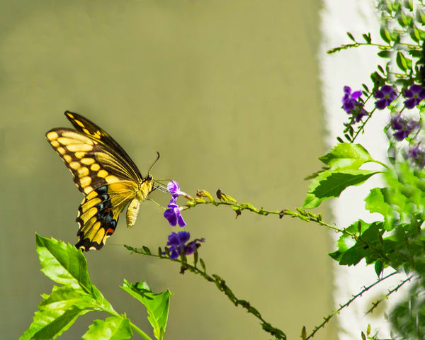 Yellow Swallowtail Butterfly Photography Art   It's Your World - Enjoy!