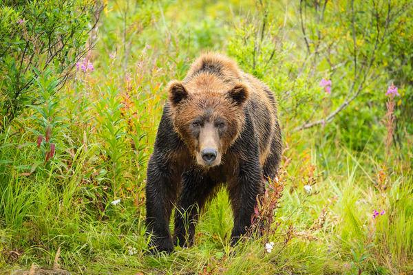 Brown Bear in Katmai National Park.