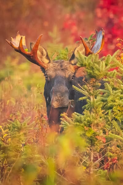 Bull Moose In Foliage Photography Art | Monteux Gallery