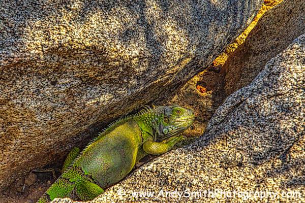 Green Iguana Traveling the Pasageway