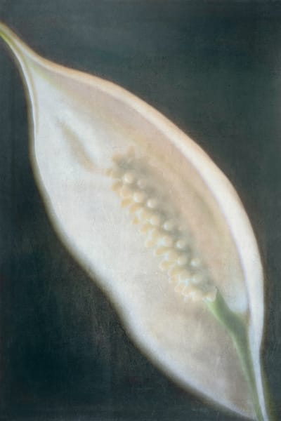 Peace Lily 5 Photography Art   Kathleen Messmer Photography