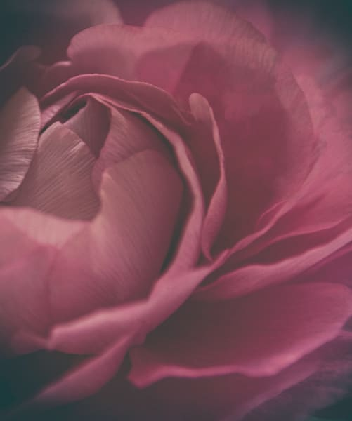 Faded Pink Renunculus  Photography Art   Kathleen Messmer Photography