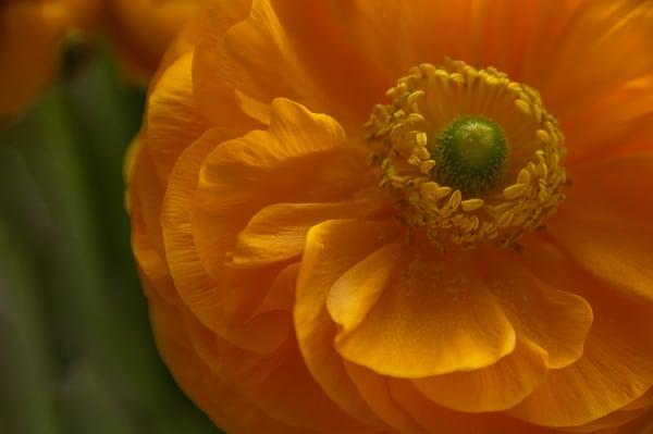 Orange Renunculus Photography Art   Kathleen Messmer Photography