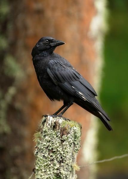 A Striking American Crow On A Post Print