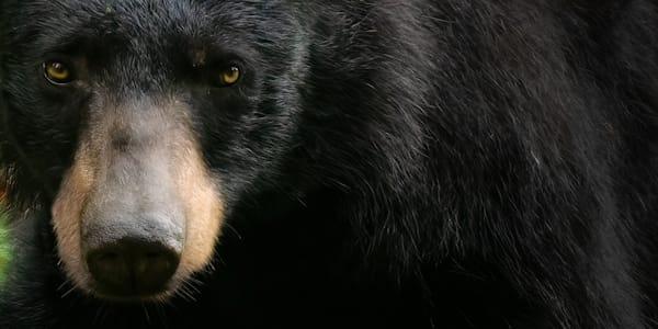 A Soulful Black Bear Print