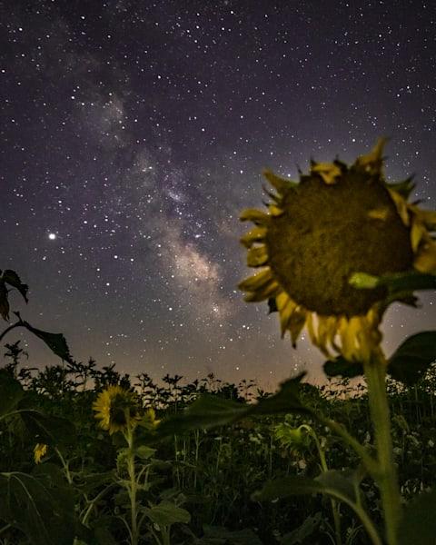 Sunflowers And Stars Photography Art | Happy Hogtor Photography