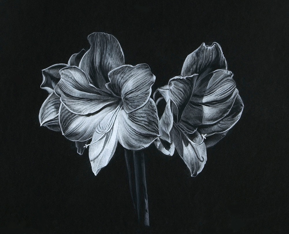 Kevin-Grass-Amaryllis-Drawing-copgto