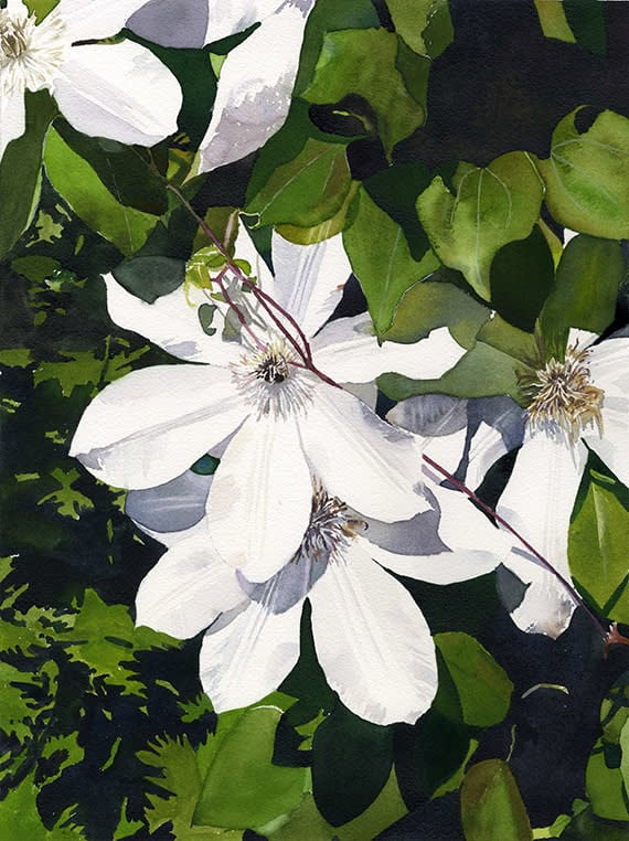 White Clematis ASF NS