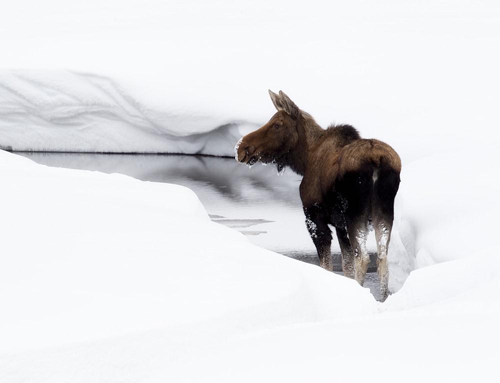 January Moose