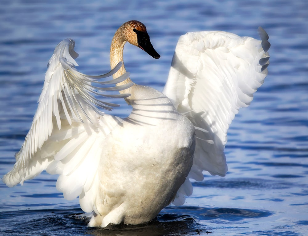 May Trumpeter Swan