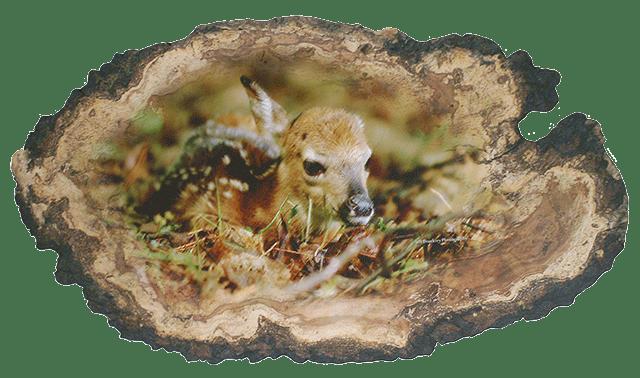 deer log01