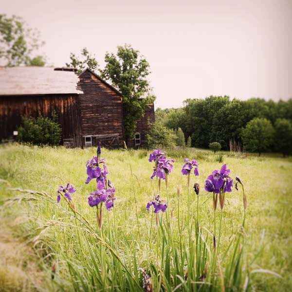 Barn with Purple Irises Image