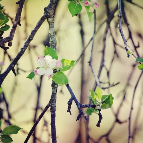 Apple Blossoms Image