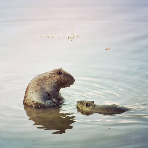 Beavers Image