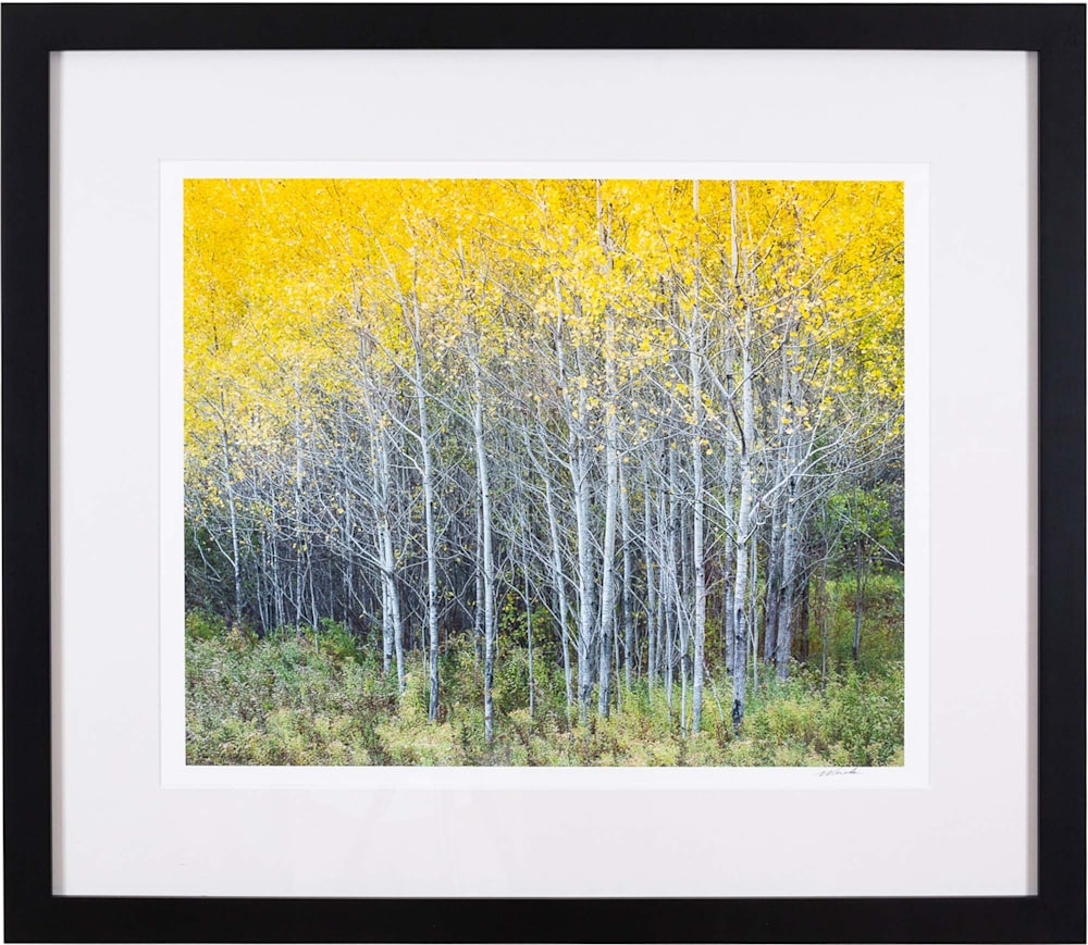 Golden Birch 0358