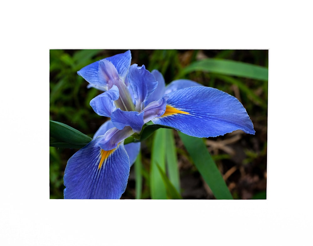Andy Crawford Photography Louisiana iris in its full glory