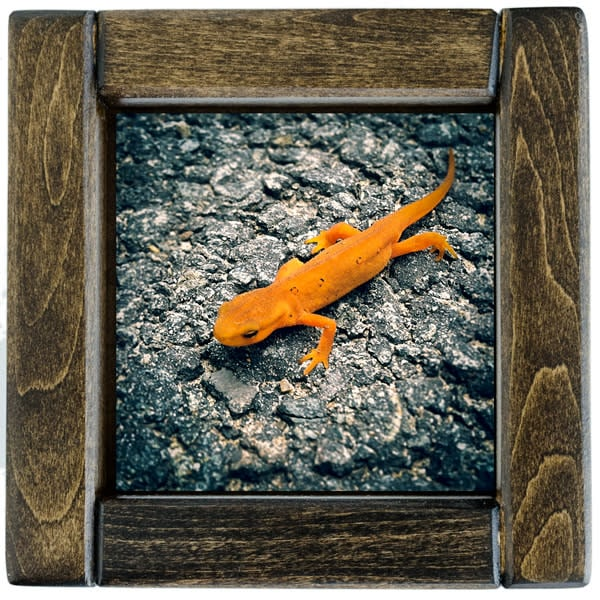 Red Eft Framed