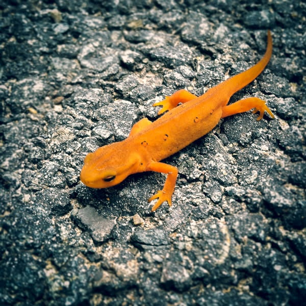 Red Eft Image