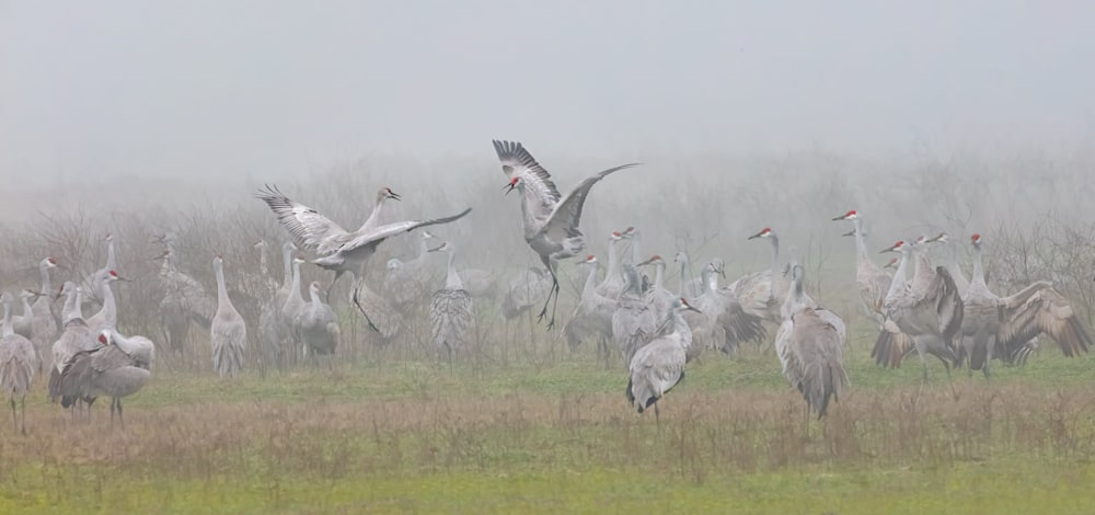 Sandhill Crane Pastoral3