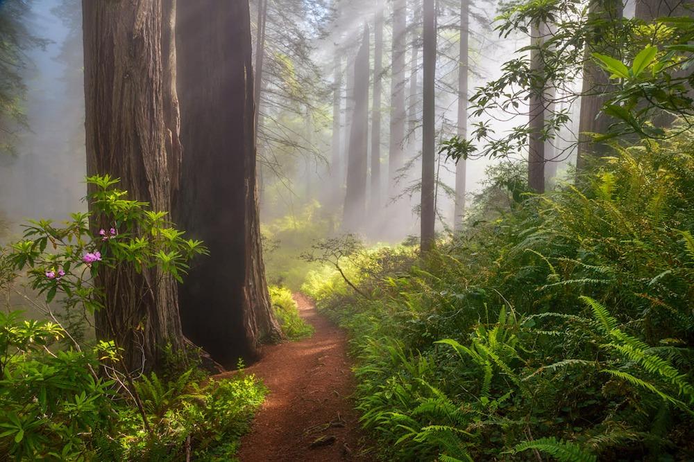 Path Through the Redwoods2