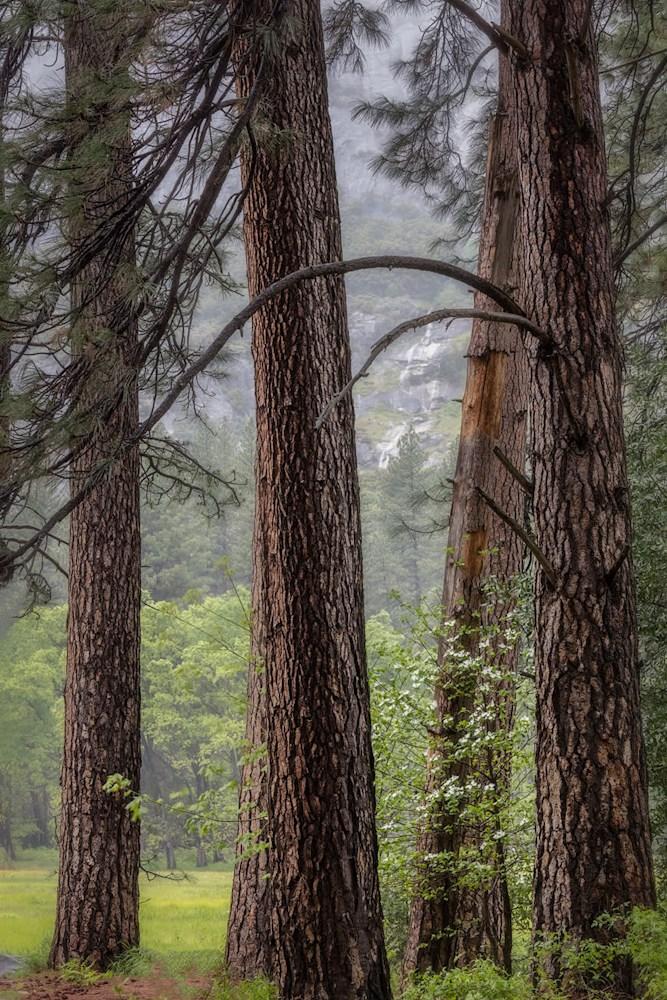 Ponderosa Pines and Dogwood