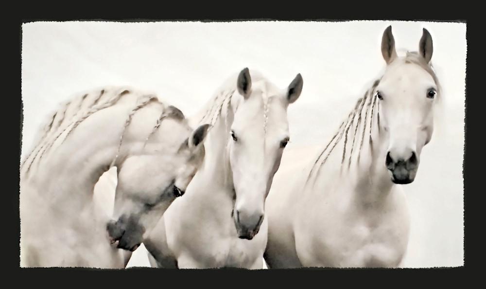 1 white stallions copy