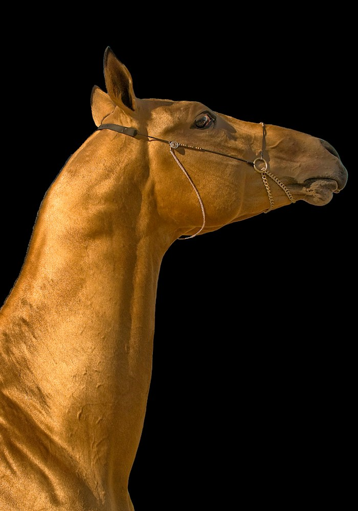 goldenstallion1 web
