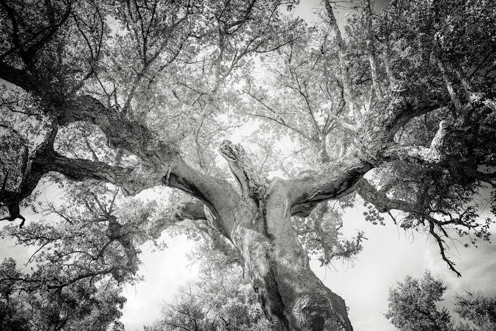 Tree # 151a Dancing Cork Oak 1