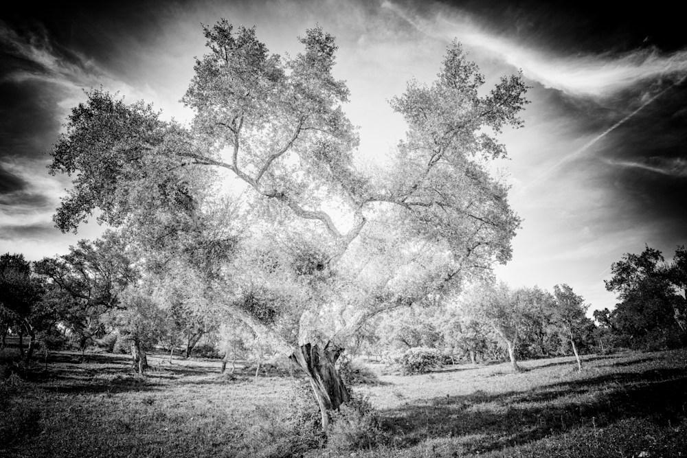 Tree #150 Dancing Cork Oak 2