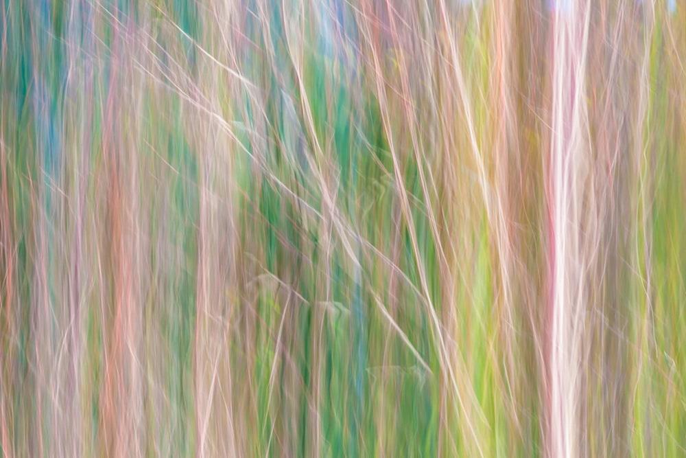 Japanese Mape and Bamboo, Feb