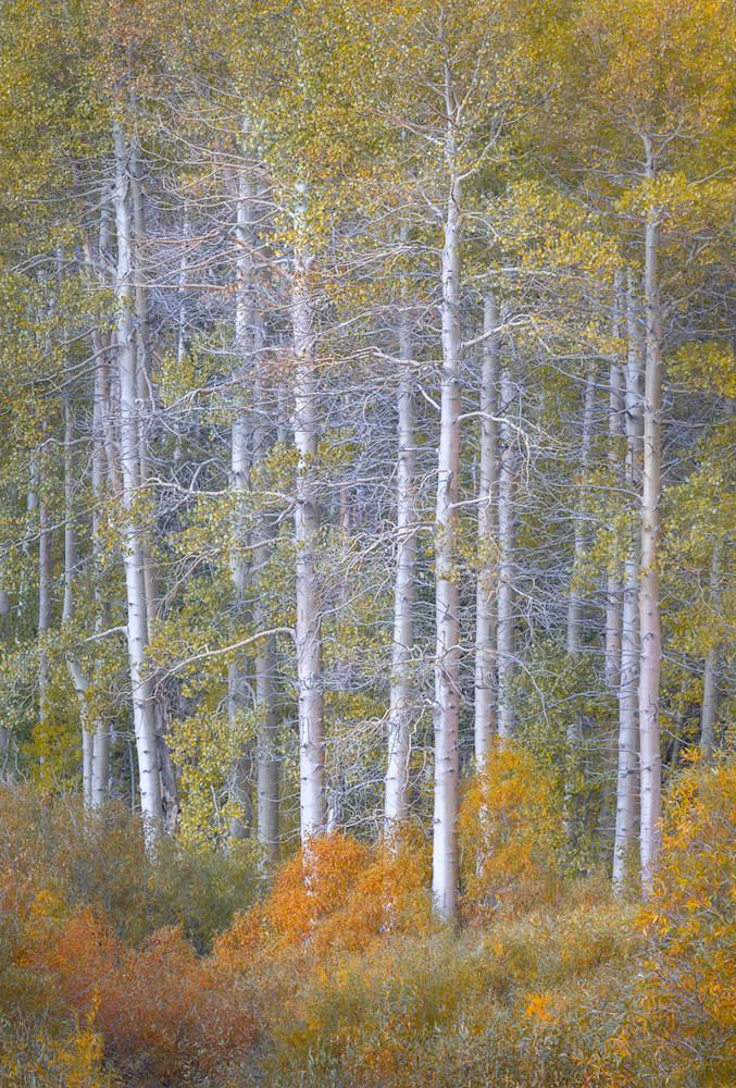 California's Autumn Aspens