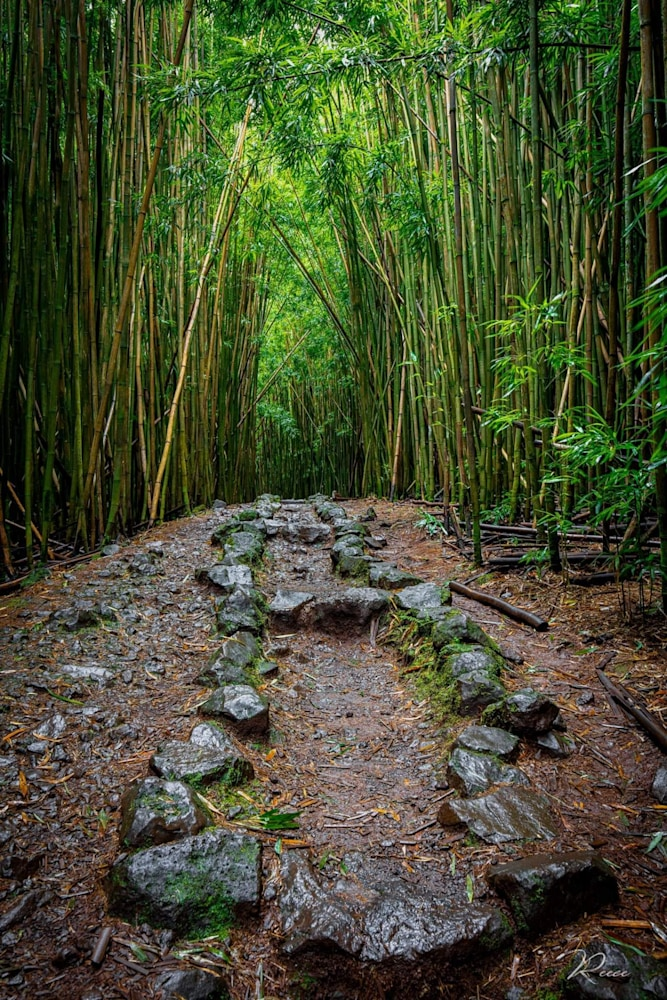 Joe Reece   Enchanted Forest   Bamboo Forest Landscape Luxury Photography Road to Hana Curvy Hiking Trails Adventure Green Evo Art Maui Front Street Lahaina Gallery Hawaii