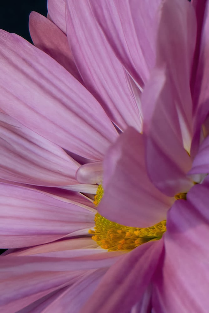 msh 1098   Flowers   Contemporary D85 4889 6x6 ish gigapixel scale 6x 24x36 ish
