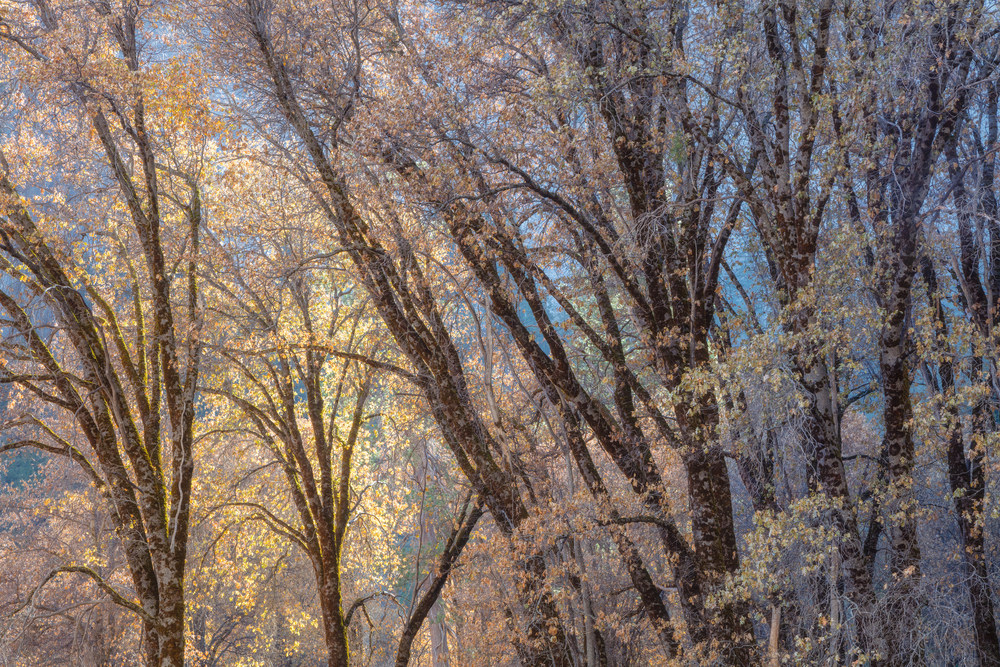 Black Oak Tapestry