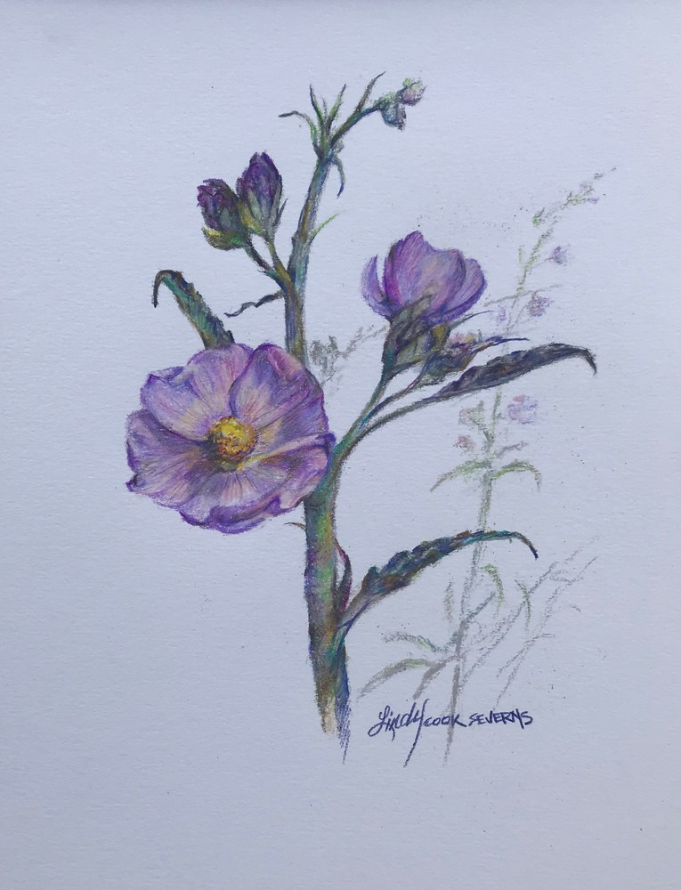 6c18 Penstemon 8x10 colored pencil Lindy Cook Severns