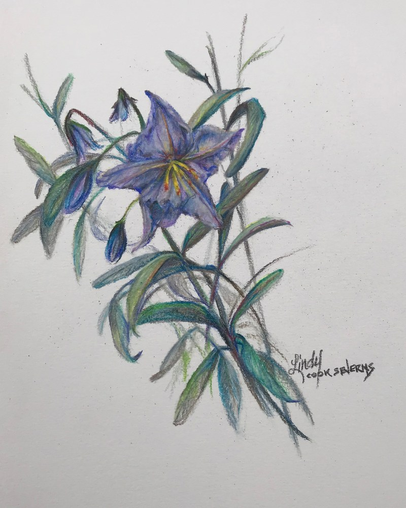 7c18 Silver Leaf Nightshade 10x8 colored pencil Lindy Cook Severns