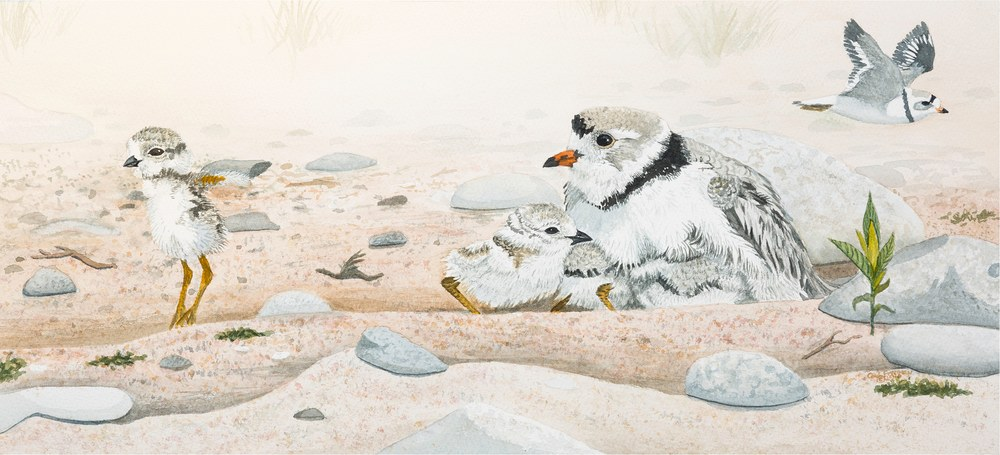 ProudParent PipingPlover