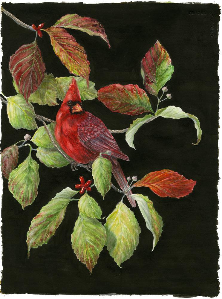 cardinal 20k