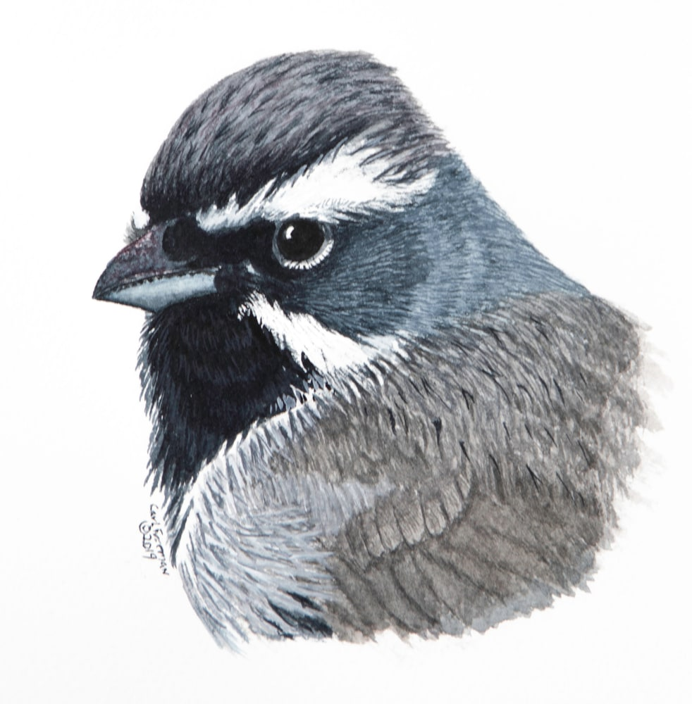 Black throated Sparrow Portrait