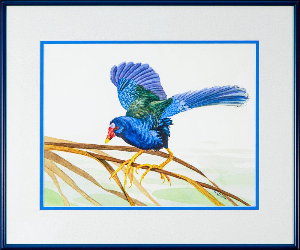 Purple Gallinule Framed Edit