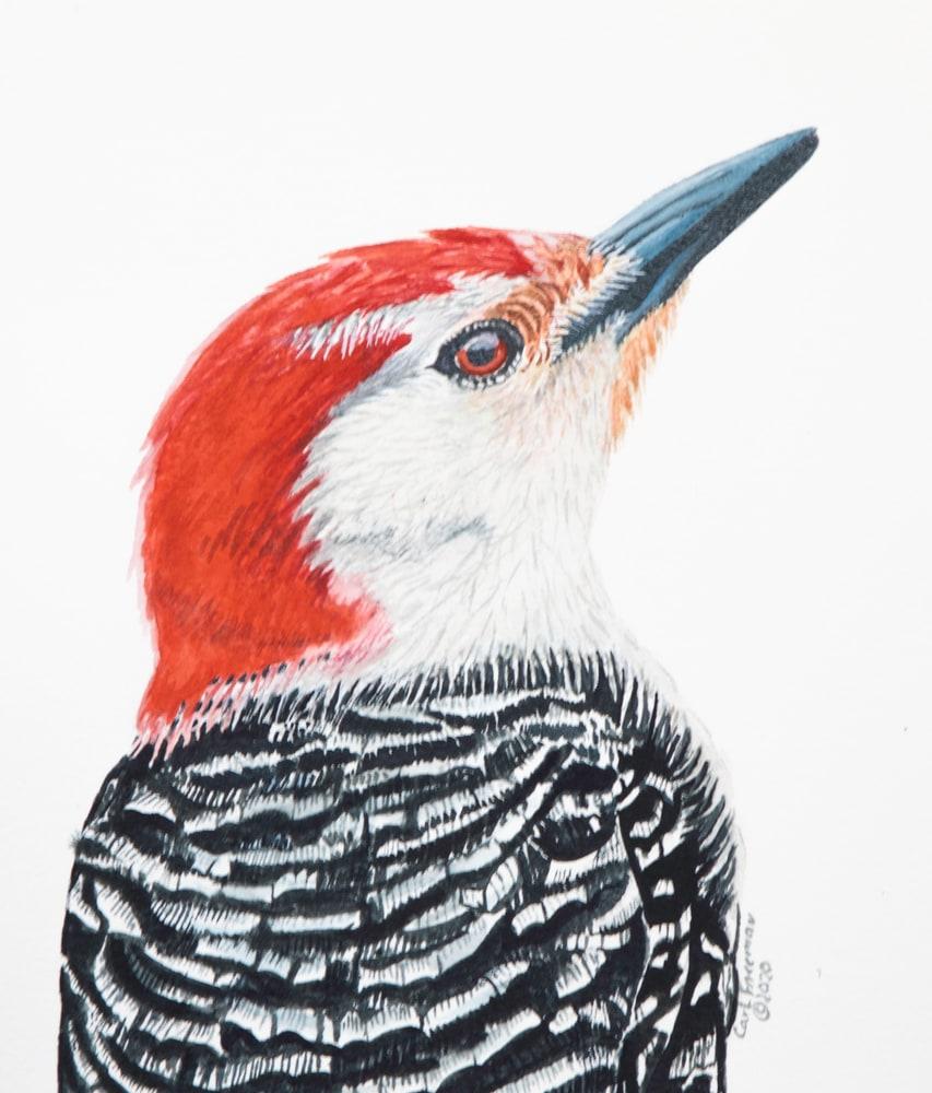 Red bellied Woodpecker Portrait