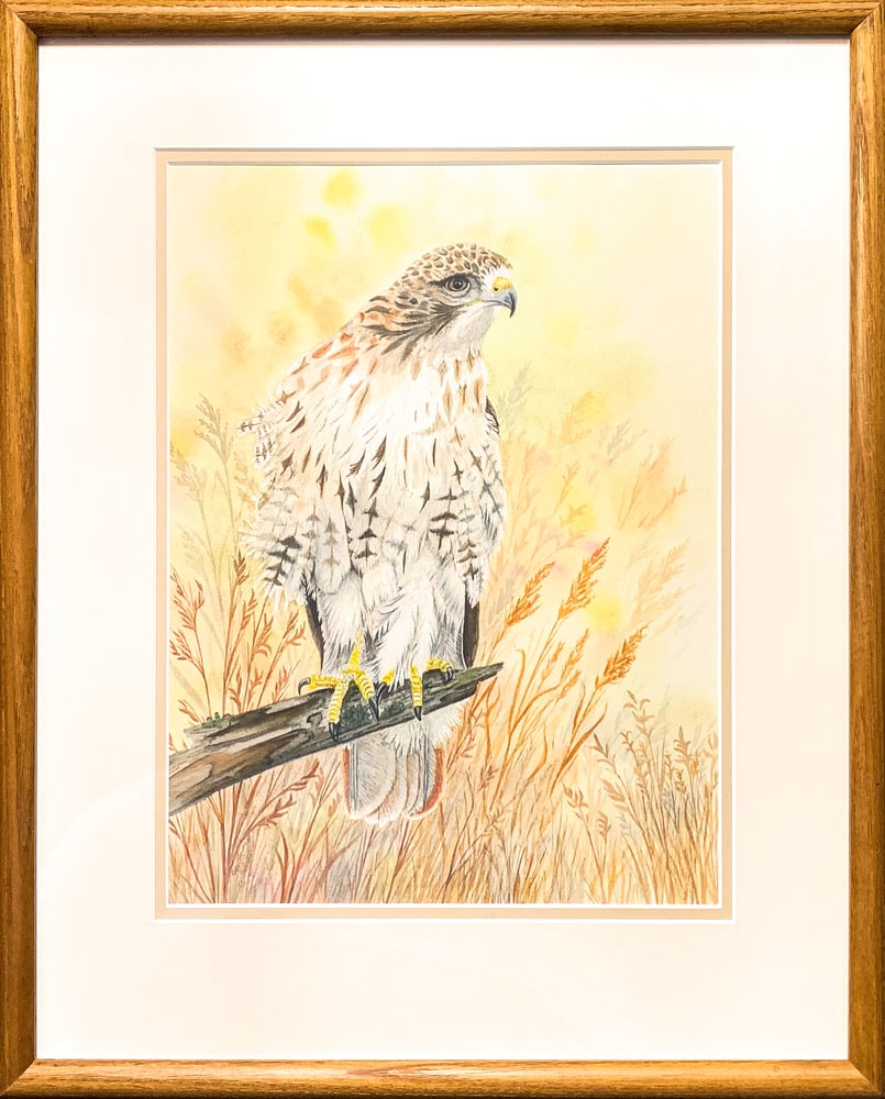 Red tailed Hawk   framed