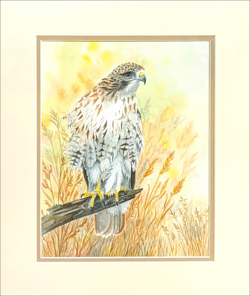 Red tailed Hawk matted