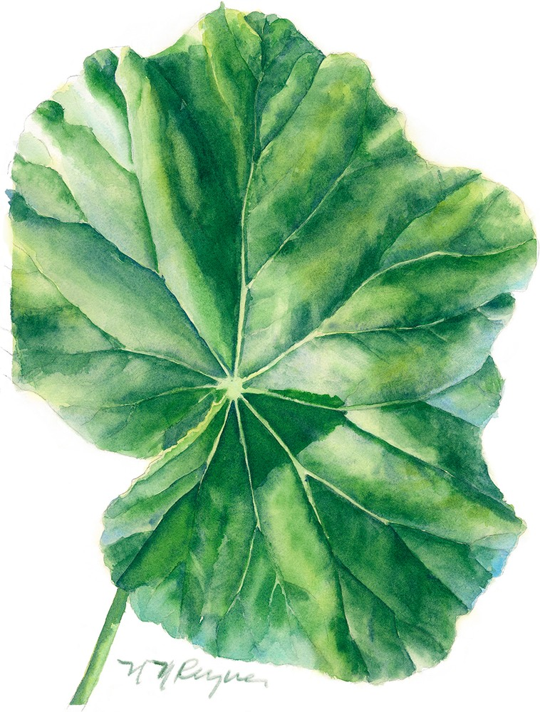 NR single begonia leaf