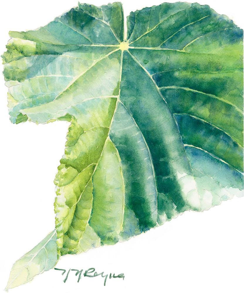 single dombeya leaf