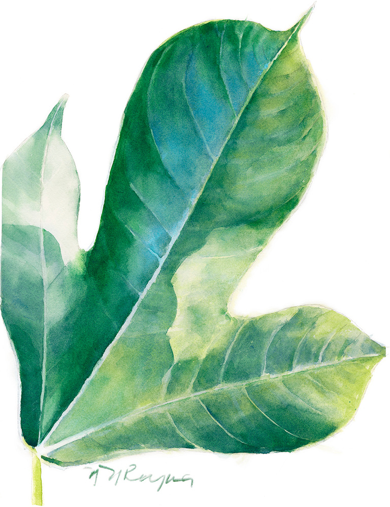 single jatropha leaf