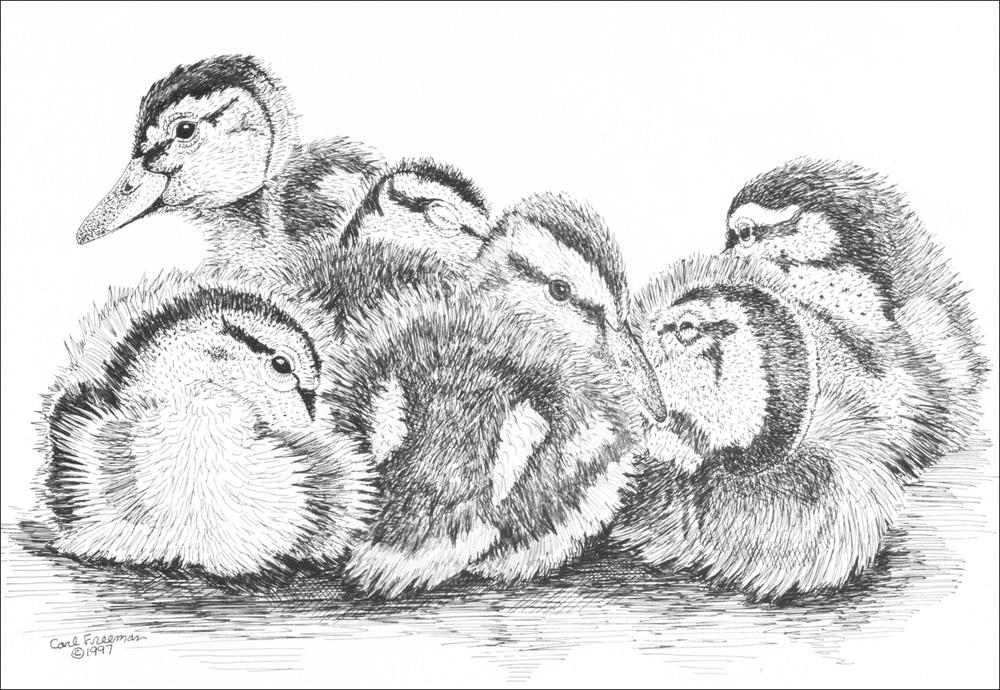 Baby Mallards