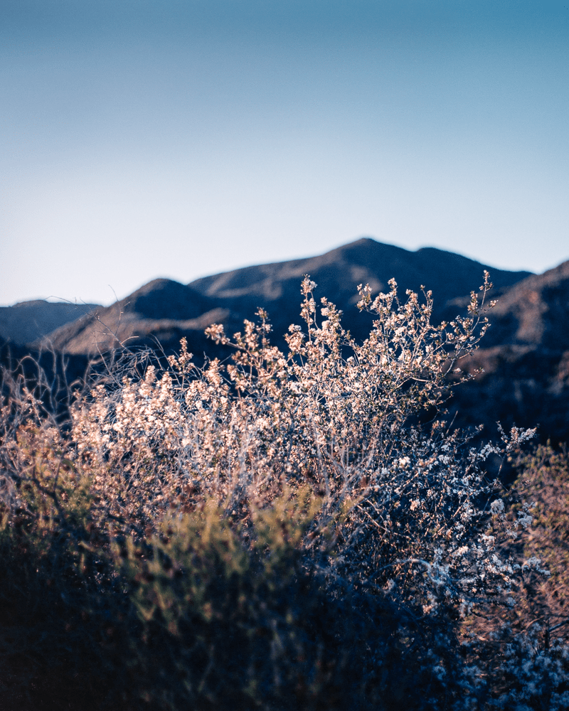 WinterBloom SantaMonicaMountains