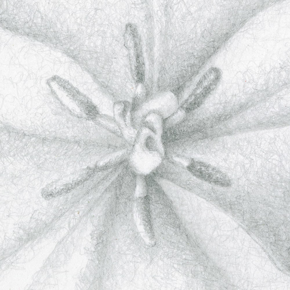 080701 orange tulip drawing series #2 detail