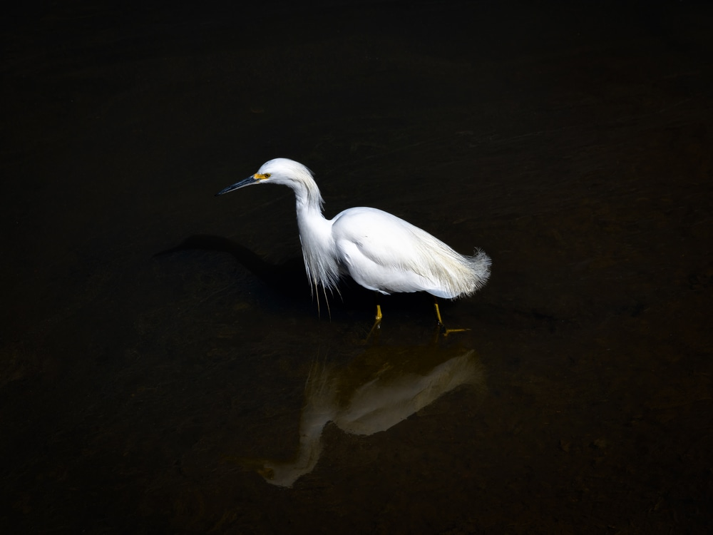 Snowy Egret and Reflection in Dark Water - Limited